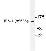 Western blot of p-IRS-1 (S636) pAb in extracts from COLO205 cells.