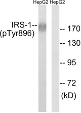 Western blot analysis of lysates from HepG2 cells treated with Na3VO4 0.3mM 40', using IRS-1 (Phospho-Tyr896) Antibody. The lane on the right is blocked with the phospho peptide.