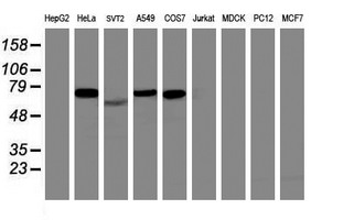 ITFG2 Antibody - Western blot of extracts (35 ug) from 9 different cell lines by using anti-ITFG2 monoclonal antibody (HepG2: human; HeLa: human; SVT2: mouse; A549: human; COS7: monkey; Jurkat: human; MDCK: canine; PC12: rat; MCF7: human).