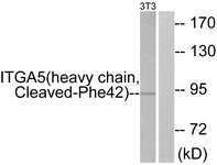 ITGA5/Integrin Alpha 5/CD49e Antibody - Western blot of extracts from NIH-3T3 cells, treated with etoposide 25 uM 24h, using ITGA5 (heavy chain, Cleaved-Phe42) Antibody. The lane on the right is treated with the synthesized peptide.