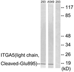 ITGA5/Integrin Alpha 5/CD49e Antibody - Western blot of extracts from 293/A549 cells, treated with etoposide 25 uM 1h, using ITGA5 (light chain, Cleaved-Glu895) Antibody. The lane on the right is treated with the synthesized peptide.