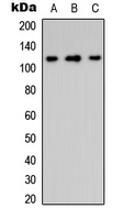 Western blot analysis of Integrin alpha 8 HC expression in HeLa (A); Raw264.7 (B); PC12 (C) whole cell lysates.