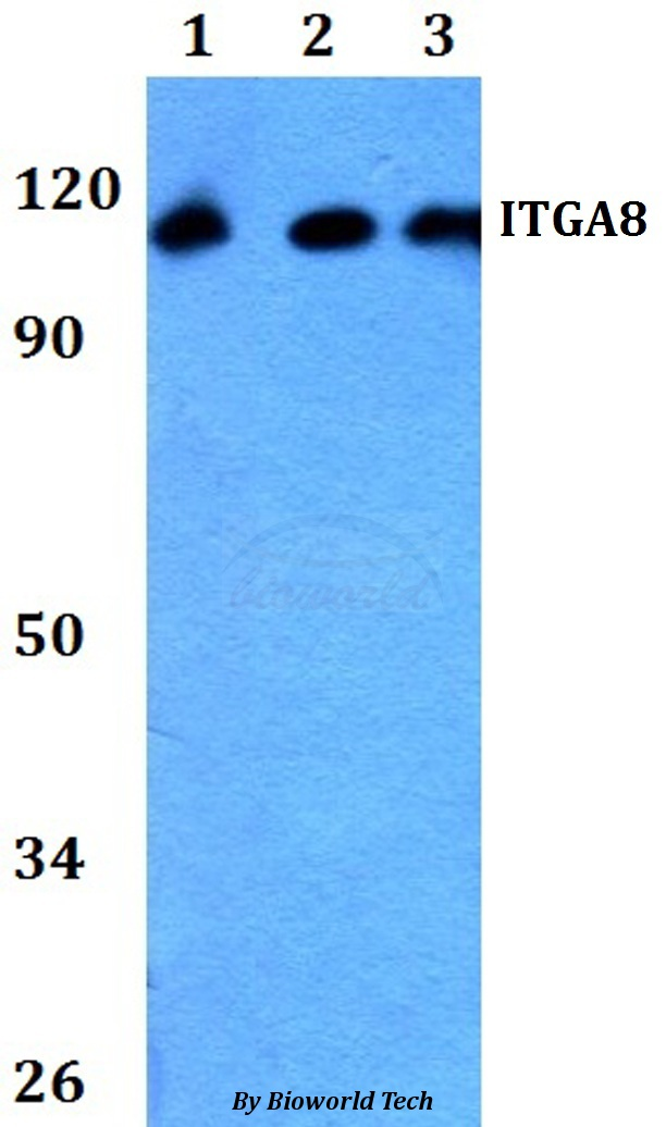 Western blot of ITGA8 antibody at 1:500 dilution. Lane 1: HeLa whole cell lysate. Lane 2: Raw264.7 whole cell lysate. Lane 3: PC12 whole cell lysate.