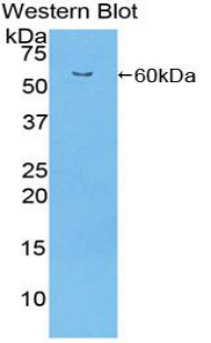 Western blot of recombinant ITGA9 / Integrin Alpha 9.  This image was taken for the unconjugated form of this product. Other forms have not been tested.