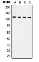 Western blot analysis of CD61 expression in HeLa (A); Raw264.7 (B); NIH3T3 (C); H9C2 (D) whole cell lysates.