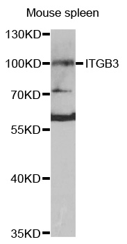 Western blot analysis of extracts of mouse spleen cells.