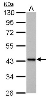 IVD antibody detects IVD protein by Western blot analysis. A. 30 ug PC-12 whole cell lysate/extract. 10 % SDS-PAGE. IVD antibody dilution:1:1000