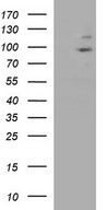 JADE3 / PHF16 Antibody - HEK293T cells were transfected with the pCMV6-ENTRY control. (Left lane) or pCMV6-ENTRY PHF16. (Right lane) cDNA for 48 hrs and lysed