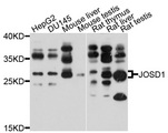 Western blot analysis of extracts of various cell lines, using JOSD1 antibody at 1:1000 dilution. The secondary antibody used was an HRP Goat Anti-Rabbit IgG (H+L) at 1:10000 dilution. Lysates were loaded 25ug per lane and 3% nonfat dry milk in TBST was used for blocking. An ECL Kit was used for detection and the exposure time was 10s.