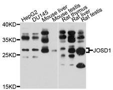 JOSD1 Antibody - Western blot analysis of extracts of various cell lines, using JOSD1 antibody at 1:1000 dilution. The secondary antibody used was an HRP Goat Anti-Rabbit IgG (H+L) at 1:10000 dilution. Lysates were loaded 25ug per lane and 3% nonfat dry milk in TBST was used for blocking. An ECL Kit was used for detection and the exposure time was 10s.