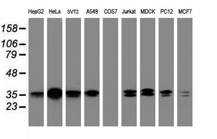 Western blot of extracts (35 ug) from 9 different cell lines by using g anti-JUN monoclonal antibody (HepG2: human; HeLa: human; SVT2: mouse; A549: human; COS7: monkey; Jurkat: human; MDCK: canine; PC12: rat; MCF7: human).