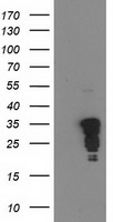 JUN / c-Jun Antibody - HEK293T cells were transfected with the pCMV6-ENTRY control (Left lane) or pCMV6-ENTRY JUN (Right lane) cDNA for 48 hrs and lysed. Equivalent amounts of cell lysates (5 ug per lane) were separated by SDS-PAGE and immunoblotted with anti-JUN.