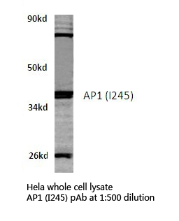 Western blot of AP1 (I245) pAb in extracts from HeLa cells.