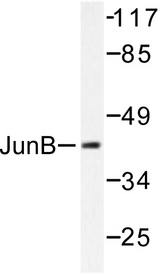 Western blot of JunB (D253) pAb in extracts from HeLa cells.