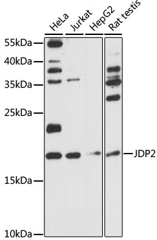 JUNDM2 / JDP2 Antibody - Western blot analysis of extracts of various cell lines, using JDP2 antibody at 1:1000 dilution. The secondary antibody used was an HRP Goat Anti-Rabbit IgG (H+L) at 1:10000 dilution. Lysates were loaded 25ug per lane and 3% nonfat dry milk in TBST was used for blocking. An ECL Kit was used for detection and the exposure time was 90s.