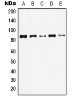 Western blot analysis of Gamma-catenin expression in HeLa (A); A431 (B); MDBK (C); NIH3T3 (D); rat brain (E) whole cell lysates.
