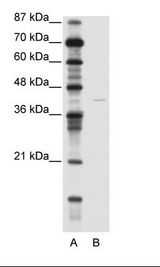 KCNA7 / Kv1.7 Antibody - A: Marker, B: Jurkat Cell Lysate.  This image was taken for the unconjugated form of this product. Other forms have not been tested.