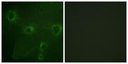 Immunofluorescence analysis of COS7 cells, using Kv2.1/KCNB1 Antibody. The picture on the right is blocked with the synthesized peptide.