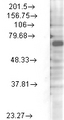 Western blot analysis of Kv3.4 in rat brain membrane lysates using a 1:1000 dilution of KCNC4 / Kv3.4 antibody.  This image was taken for the unconjugated form of this product. Other forms have not been tested.