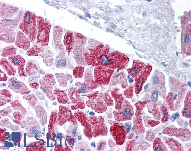 Anti-KCNH5 / Kv10.2 antibody IHC of human heart. Immunohistochemistry of formalin-fixed, paraffin-embedded tissue after heat-induced antigen retrieval. Antibody LS-B975 concentration 5 ug/ml.  This image was taken for the unconjugated form of this product. Other forms have not been tested.