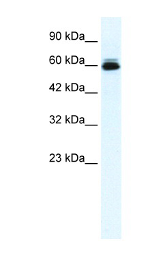 KCNH5 / Kv10.2 antibody LS-B975 Western blot of HepG2 cell lysate.  This image was taken for the unconjugated form of this product. Other forms have not been tested.