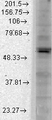 Western blot analysis of Kir2.1 in COS transient cells using a 1:1000 dilution of KCNJ2 / KIR2.1 antibody.  This image was taken for the unconjugated form of this product. Other forms have not been tested.