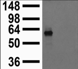 KCNJ2 / Kir2.1 Antibody - Extract of COS cells transiently transfected with Kir2.1