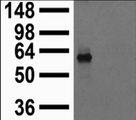 Extract of COS cells transiently transfected with Kir2.1