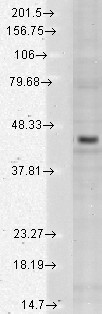 Kir2 3 (S25-35), Human cell line mix.  This image was taken for the unconjugated form of this product. Other forms have not been tested.