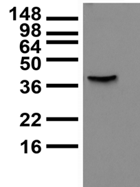 KCNMB3 Antibody - Lysate of COS cells transiently-transfected with BK Beta3a plasmid and probed