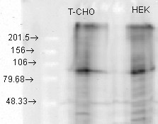 KCNQ2 Antibody - KCNQ2 (S26A-23), CHO, HEK overexpressed.  This image was taken for the unconjugated form of this product. Other forms have not been tested.
