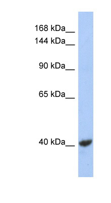 KCNQ2 antibody LS-B6609 Western blot of NCI-H226 cell lysate.  This image was taken for the unconjugated form of this product. Other forms have not been tested.