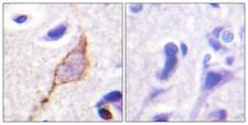KCNQ3 Antibody - Peptide - + Immunohistochemistry analysis of paraffin-embedded human brain tissue using Kv7.3/KCNQ3 antibody.