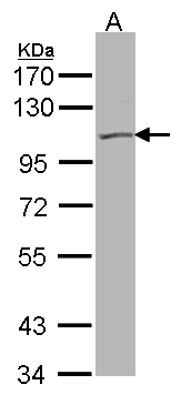 Sample (30 ug of whole cell lysate). A:293T. 7.5% SDS PAGE. KCNQ5 antibody diluted at 1:500