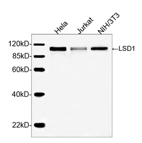 KDM1A / LSD1 Antibody - Western blot analysis of cell lysates using LSD1 Antibody The signal was developed with IRDye TM 800 Conjugated Goat Anti-Rabbit IgG. Predicted Size: 92 KD Observed Size: 92 KD