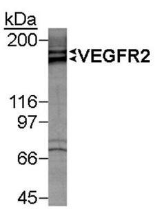 KDR / VEGFR2 / FLK1 Antibody - Detection of VEGFR-2 doublet in VEGFR-2 induced HUVEC lysate (50 ug) using antibody at 1 ug/ml. ECL detection 1 minute.  This image was taken for the unconjugated form of this product. Other forms have not been tested.