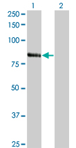 Western Blot analysis of RNF103 expression in transfected 293T cell line by RNF103 monoclonal antibody (M01), clone 3E7.Lane 1: RNF103 transfected lysate(79.405 KDa).Lane 2: Non-transfected lysate.
