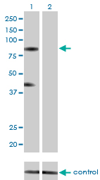 Western blot analysis of RNF103 over-expressed 293 cell line, cotransfected with RNF103 Validated Chimera RNAi (Lane 2) or non-transfected control (Lane 1). Blot probed with RNF103 monoclonal antibody (M01), clone 3E7 . GAPDH ( 36.1 kDa ) used as specificity and loading control.