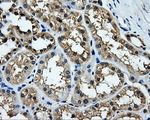 IHC of paraffin-embedded Kidney tissue using anti-TTLL12 mouse monoclonal antibody. (Dilution 1:50).
