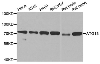 Western blot analysis of extracts of various cell lines, using ATG13 antibody at 1:1000 dilution. The secondary antibody used was an HRP Goat Anti-Rabbit IgG (H+L) at 1:10000 dilution. Lysates were loaded 25ug per lane and 3% nonfat dry milk in TBST was used for blocking. An ECL Kit was used for detection and the exposure time was 10s.