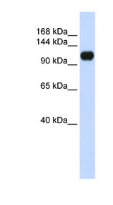 KIAA0692 / ANKLE2 Antibody - ANKLE2 / KIAA0692 antibody Western blot of 293T cell lysate. This image was taken for the unconjugated form of this product. Other forms have not been tested.