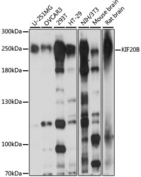 KIF20B Antibody - Western blot analysis of extracts of various cell lines, using KIF20B antibody at 1:1000 dilution. The secondary antibody used was an HRP Goat Anti-Rabbit IgG (H+L) at 1:10000 dilution. Lysates were loaded 25ug per lane and 3% nonfat dry milk in TBST was used for blocking. An ECL Kit was used for detection and the exposure time was 10s.