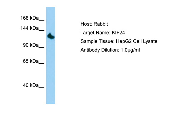 KIF24 Antibody -  This image was taken for the unconjugated form of this product. Other forms have not been tested.