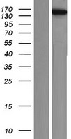 KIF4B Protein - Western validation with an anti-DDK antibody * L: Control HEK293 lysate R: Over-expression lysate