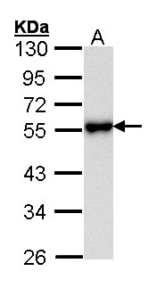 Sample (30 ug of whole cell lysate). A: Hela. 10% SDS PAGE. KISS1R antibody diluted at 1:1000.