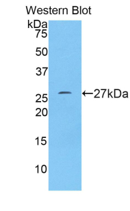 KITLG / SCF Antibody - Western blot of recombinant KITLG / SCF.  This image was taken for the unconjugated form of this product. Other forms have not been tested.
