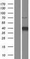 KLF3 Protein - Western validation with an anti-DDK antibody * L: Control HEK293 lysate R: Over-expression lysate