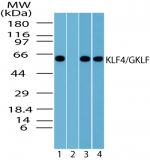 Western blot analysis of KLF4 in 293 cell lysate in the 1) absence, and 2) presence of immunizing peptide, 3) 3T3 and 4) RAW cell lysate using antibody at 1 ug/ml (293) and 2 ug/ml (3T3 and RAW).