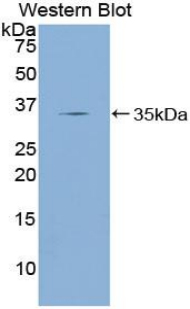 Western blot of recombinant KLF4.  This image was taken for the unconjugated form of this product. Other forms have not been tested.
