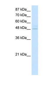 KLF4 antibody Western blot of Transfected 293T cell lysate. This image was taken for the unconjugated form of this product. Other forms have not been tested.